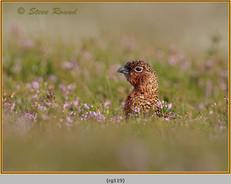 red-grouse-119.jpg