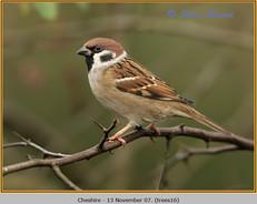 tree-sparrow-16.jpg