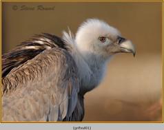 griffon-vulture-01c.jpg