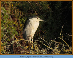 night-heron-44.jpg