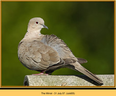 collared-dove-05.jpg