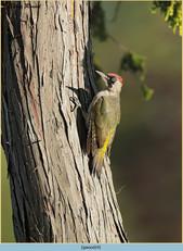 green-woodpecker-24.jpg