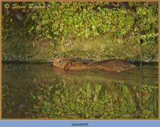 water-vole-09.jpg