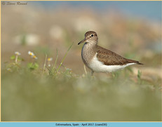 common-sandpiper-30.jpg