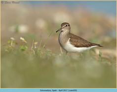 common-sandpiper-30.jpg