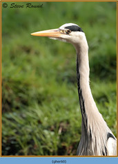 grey-heron-60.jpg