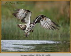 osprey-31.jpg