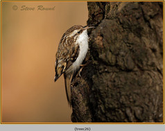 treecreeper-26.jpg