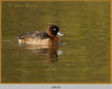 tufted-duck-33.jpg