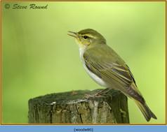 wood-warbler-80.jpg