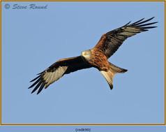 red-kite-90.jpg