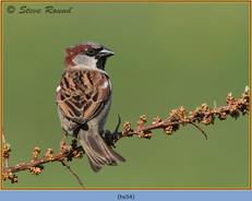 house-sparrow-54.jpg
