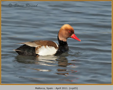 red-crested-pochard-05.jpg
