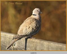 collared-dove-13.jpg