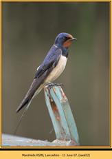 swallow-22.jpg