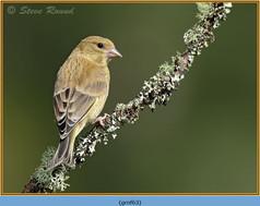 greenfinch-63.jpg