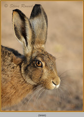 brown-hare-66.jpg