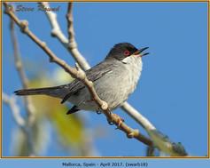 sardinian-warbler-18.jpg