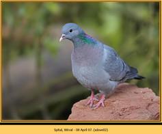 stock-dove-02.jpg