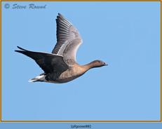 pink-footed-goose-88.jpg