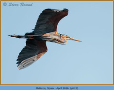purple-heron-15.jpg