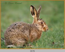 brown-hare-78.jpg