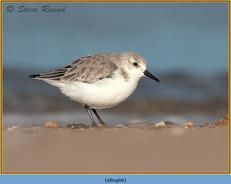 sanderling-66.jpg