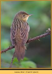 grasshopper-warbler-13.jpg