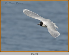 little-gull-21.jpg