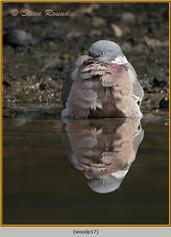wood-pigeon-17.jpg