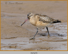 bar-tailed-godwit-34.jpg