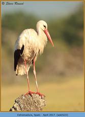 white-stork-22.jpg