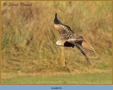 red-kite-55.jpg
