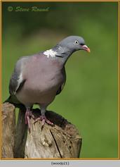 wood-pigeon-21.jpg