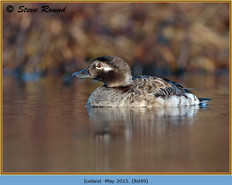 long-tailed-duck-49.jpg