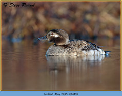 long-tailed-duck-49.jpg