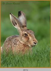 brown-hare-71.jpg
