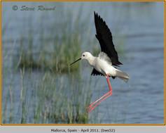 black-winged-stilt-52.jpg