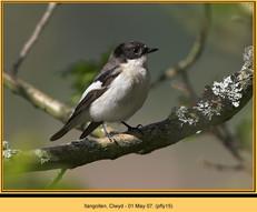 pied-flycatcher-15.jpg