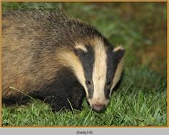 badger-14.jpg