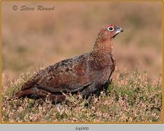 red-grouse-103.jpg