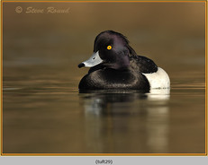 tufted-duck-29.jpg
