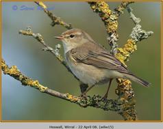 willow-warbler-15.jpg