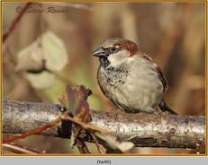 house-sparrow-40.jpg