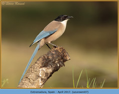 azure-winged-magpie-07.jpg