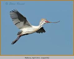 cattle-egret-36.jpg