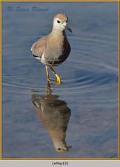 white-tailed-lapwing-12.jpg