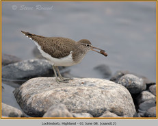 common-sandpiper-12.jpg