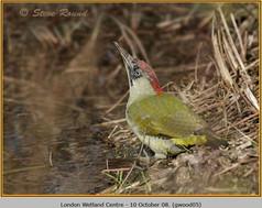 green-woodpecker-05.jpg