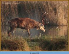 red-deer-60.jpg